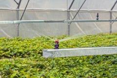 Water gevend eiken zaailingen in een serre, door kunstmatige te bespuiten, alvorens in het bos te planten royalty-vrije stock foto
