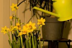 Water gevende gele narcissenPasen bloemen stock fotografie