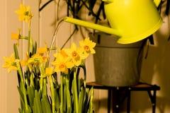 Water gevende gele narcissenPasen bloemen royalty-vrije stock fotografie