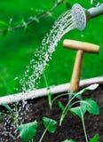 Water gevende jonge zaailingen Royalty-vrije Stock Afbeelding