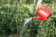 Water gevende tomaten Stock Foto's