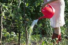Water gevende tomaten Stock Foto