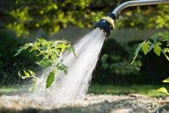Water gevende zaailingstomaat Stock Foto