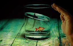 Water Glass, Angler, Fish, Goldfish Royalty Free Stock Images