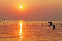 Water golden seagull swoop. Sunset water golden seagull swoop at Bang Pu Seaside of Thailand Stock Photo