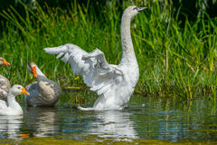 Water Goose Danube Delta, while stretching their wings Stock Image