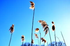 Water grass against the blue sky Royalty Free Stock Photo