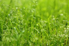 With water grass. A close-up of green grass with dew, full of vigour Royalty Free Stock Photo