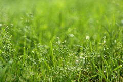 With water grass. A close-up of green grass with dew, full of vigour Royalty Free Stock Image