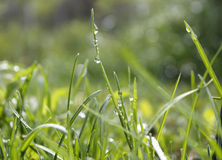 With water grass. A close-up of green grass with dew, full of vigour Stock Photo