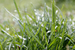 With water grass. A close-up of green grass with dew, full of vigour Stock Image