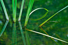 Water Grass. Close up of grass with reflection in water Stock Photos