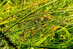 Water on Grass. Water droplets formed on mixed grass with a web pattern illuminated in sunlight Stock Photo