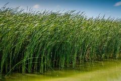 Water Grass. Grass growing in the marsh birding area of Port Aransas, Texas Royalty Free Stock Image