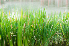 Water grass Royalty Free Stock Photos