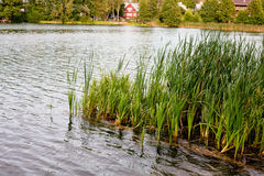 Water grass in lake Royalty Free Stock Photo