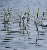 Water grass. On the lake stock images