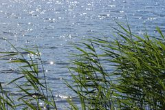 Water grasses Common Reed Grass at surface of lake with little waves and sun reflections. Summer photo Royalty Free Stock Photography