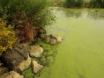 Water, green algae and rocks with green plants. Water, green algae and rocks or boulders with green plants royalty free stock image
