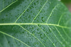 Water on green banyan leaf. Summer time we can see this nice texture after raining Royalty Free Stock Image
