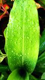 Water on green leaf Royalty Free Stock Image