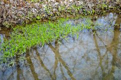 Water seaweed plants in river Stock Image