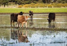 Water Heifers. Some jersey heifers in a flooded paddock royalty free stock photography