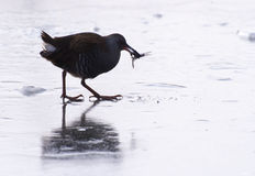 Water hen Stock Photography