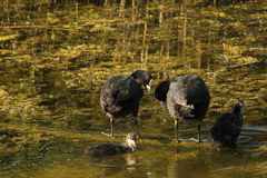 Water hen or coot. Eurasian coot family against the background lake and green plants Stock Photography