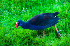 Colorful water hen walking on green grass Royalty Free Stock Photography