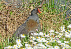 Water hen in the grass Royalty Free Stock Image