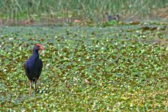 Water hen in wetlands Royalty Free Stock Photos