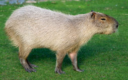 Water hog Stock Photography