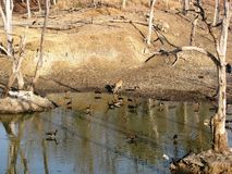 Water Hole. Photo of a water hole in Pench National park full of black storks and a spotted deer Royalty Free Stock Image