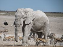 Water hole. Afrixan elephant springbok water hole Stock Photos