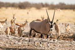 Water hole Etosha. Springbok and Gemsbok in Water hole, Etosha Namibia Royalty Free Stock Images