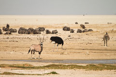 Water hole Etosha Stock Photography