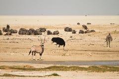 Water hole Etosha. Wildbeests and Gemsbok in Water hole, Etosha Namibia Stock Photography