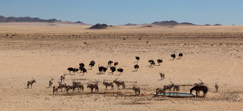 Water hole near aus. Namibia where some animals are having a drink Stock Images