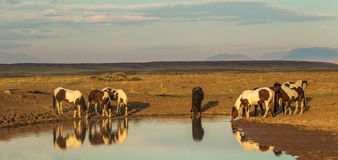 Water Hole. Panoramic Composition of Small Group Of Wild Horses Drinking At Water Hole, McCullough Peaks Wild Horse Herd Management Area, Wyoming Stock Image