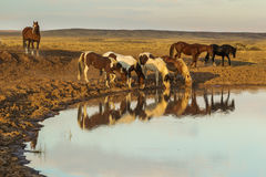 Water Hole. Small Group Of Wild Horses Drinking At Water Hole, McCullough Peaks Wild Horse Herd Management Area, Wyoming Stock Photo