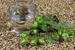 Water, hops and malt. A glass of water with malt and hops Stock Images