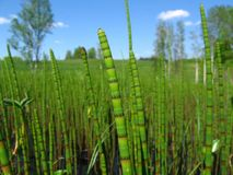 Water horsetail Stock Images