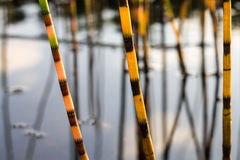 Water horsetail Royalty Free Stock Images