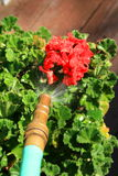 Water Hose Spraying Geranium Flower. Close up of a water hose spraying geranium flower Royalty Free Stock Photo