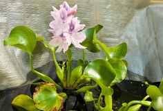 Water hyacinth Royalty Free Stock Image
