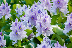 Water Hyacinth. (Eichhornia crassipes) in bloom stock image
