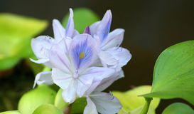 Water Hyacinth. With dark background royalty free stock photography