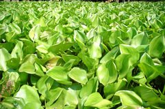 Water hyacinth Stock Images