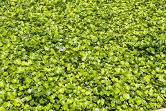 Water hyacinth. Summer pond planting water hyacinth royalty free stock photo